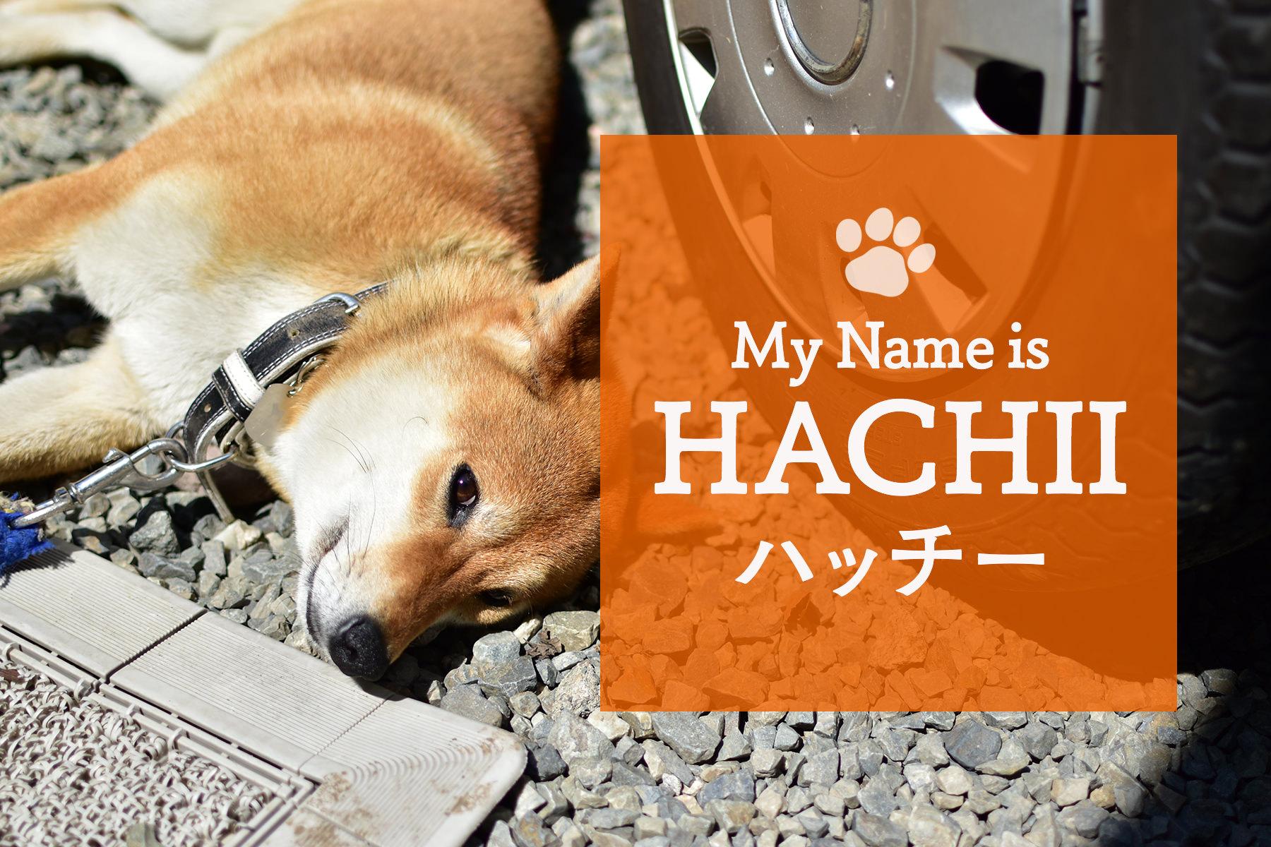 喜久屋の看板犬  ハッチー
